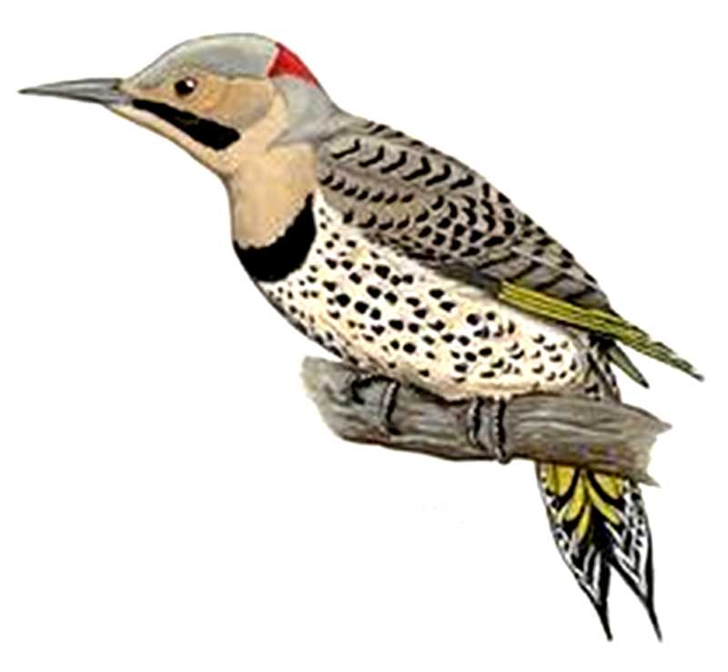 Yellow-shafted Flicker (male)